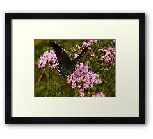 Orchard Swallowtail. Framed Print