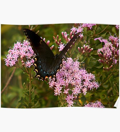 Orchard Swallowtail. Poster