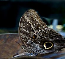 Owl Butterfly. by chris kusik