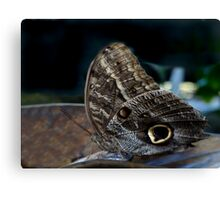Owl Butterfly. Canvas Print