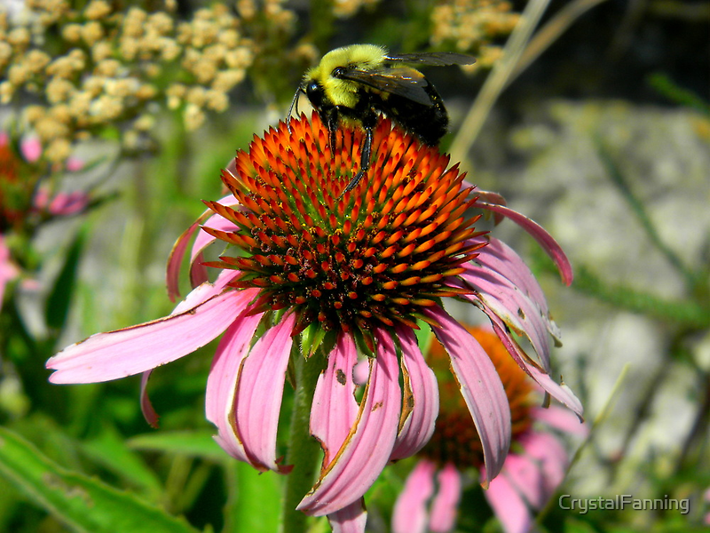 Big Bee Small Flower by CrystalFanning