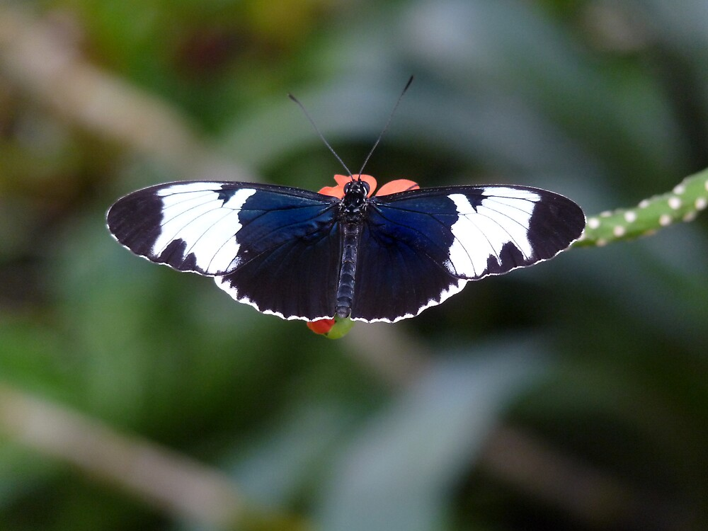 Sapho Longwing #1. by chris kusik