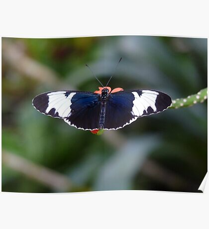 Sapho Longwing #1. Poster