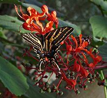Three Tailed Tiger Swallowtail. by chris kusik