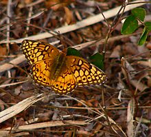 Varigated Fritillary. by chris kusik