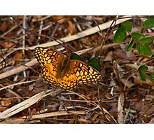Varigated Fritillary. Photographic Print