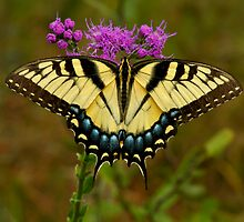 Yellow Tiger Swallowtail. by chris kusik