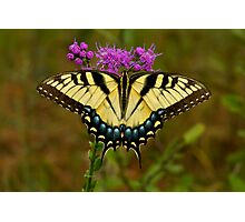 Yellow Tiger Swallowtail. Photographic Print