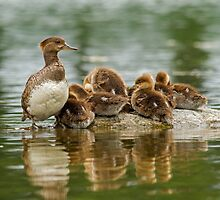 Hooded Merganser Family by Bill McMullen