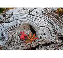 Old tree stump with autumn color Photographic Print