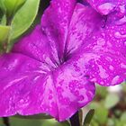 Rainy Day Petunia by James Brotherton