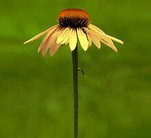 Golden Coneflower by Sharon Woerner