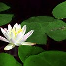 Water Lily & Dragonfly by Sharon Woerner