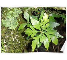 Celery -Top Pine, Cradle Mountain,Tasmania, Australia. Poster
