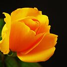 Yellow  Rose by mrvica