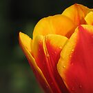 Tulip Drops by Kyle McLeod