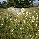 Path of Daisies by KarenM