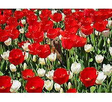 Groundhog Day! Vibrant Red & White Tulip Flower Bed on Parliament Hill, Canada Photographic Print
