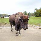 Bison by Vicki Spindler (VHS Photography)