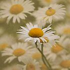Daisy, Daisy... by Kerry McQuaid