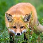Fox kit in the grass by amontanaview