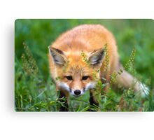 Fox kit in the grass Canvas Print