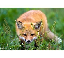 Fox kit in the grass Photographic Print