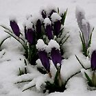Snow Crocus by amicejane