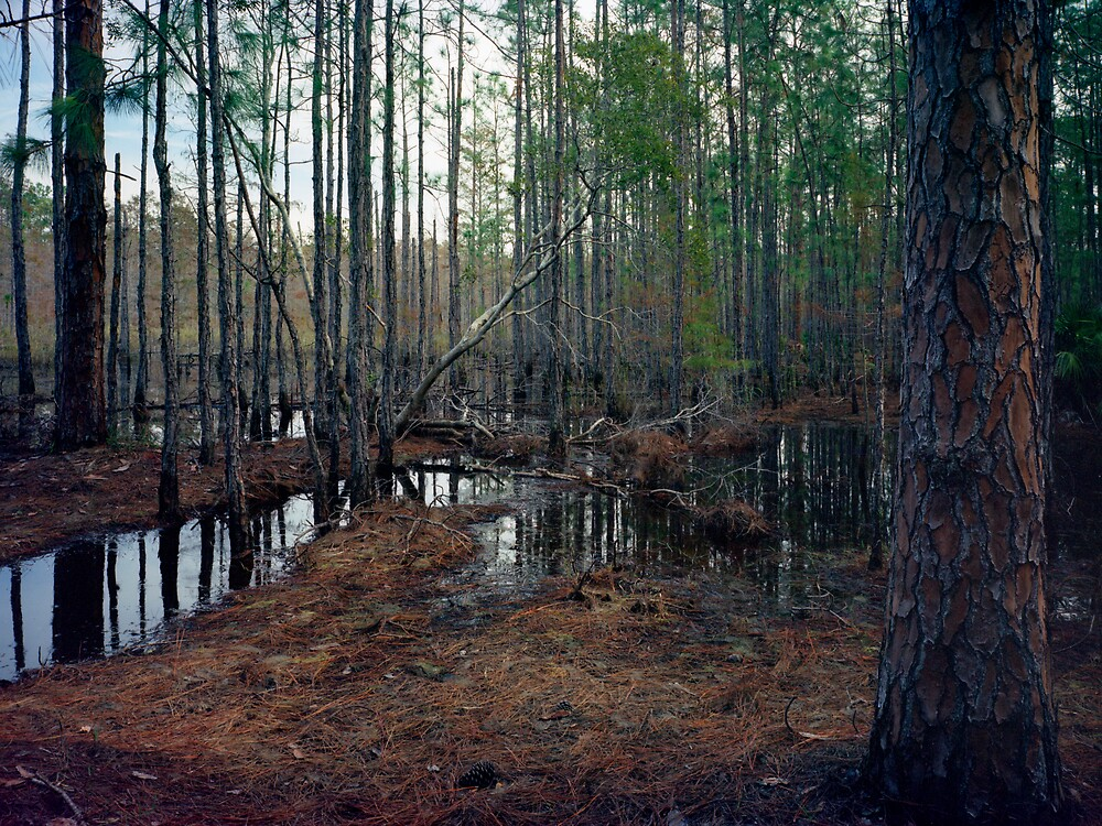 Pine Forest Wetland. by chris kusik