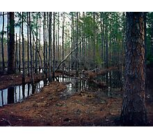 Pine Forest Wetland. Photographic Print