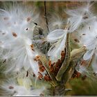 Milkweed Explosion by Wayne King