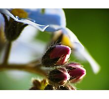 Forget-Me-Nots 8 Photographic Print