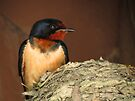 Barn Swallow by Veronica Schultz