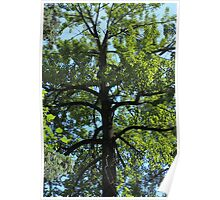 Balsam Poplar Crown Poster