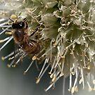 Bee on onion flower by Celeste Mookherjee