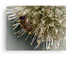Bee on onion flower Canvas Print