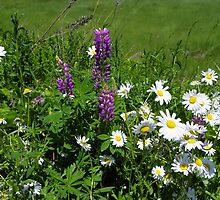 Daisies and Lupines by MaryinMaine