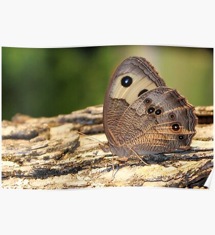 Texas Butterfly - Common Buckeye - Daily Homework - Day 50 - June 26, 2012 Poster
