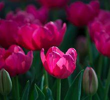 Tulip Field by Sharlene Rens