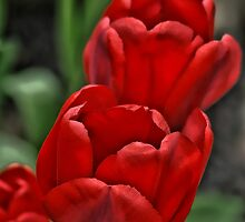 Red Tulips by Aase