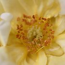 Yellow Rose Macro by Astrid Ewing Photography