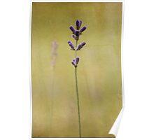 Parchment Lavender Poster