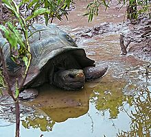 Giant Tortoise by globeboater