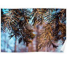 Spruce Branch Poster