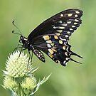 Male Black Swallowtail by Rosanne Jordan