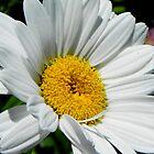 Pretty Daisy © by Dawn M. Becker