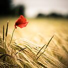 The solitude poppy by fotozo