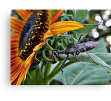 Assassin Bug with Sunflower Canvas Print