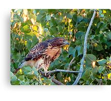 Juvenile Red Tail Hawk Canvas Print