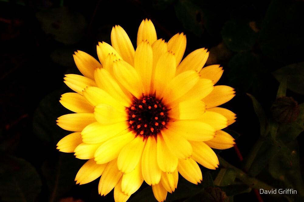 Vibrant Orange Flower by David Griffin